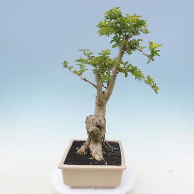 Indoor bonsai - Duranta erecta Aurea - 5