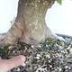 Acer campestre - Baby Maple VB2020-496 - 5/5
