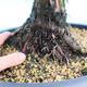 Yamadori Juniperus chinensis - juniper - 5/6