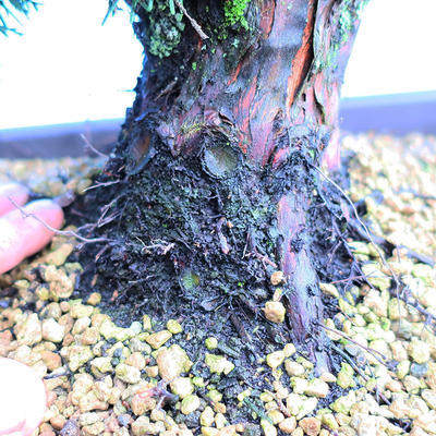 Yamadori Juniperus chinensis - juniper - 5