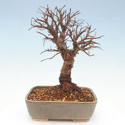 Outdoor bonsai - Zelkova - Zelkova NIRE - 5