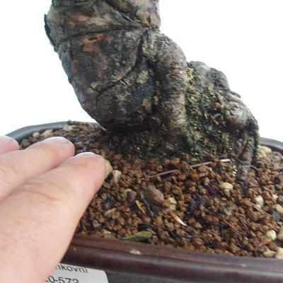 Pinus thunbergii - Thunberg Pine VB2020-572 - 5