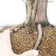 Outdoor bonsai - Juniperus chinensis - Chinese juniper - 5/6