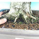 Outdoor bonsai -Carpinus CARPINOIDES - Korean Hornbeam - 5/5