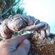 Pinus thunbergii - Thunberg Pine - 5/5