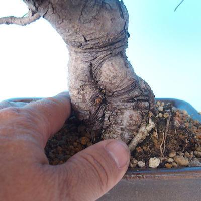 Pinus thunbergii - Thunberg Pine - 5