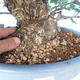 Outdoor bonsai - Japanese pear NASHI - Pyrus pyrifolia - 5/6