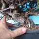Outdoor bonsai - Juniperus chinensis ITOIGAWA - Chinese Juniper - 5/6