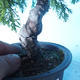 Outdoor bonsai - Juniperus chinensis ITOIGAWA - Chinese Juniper - 5/6