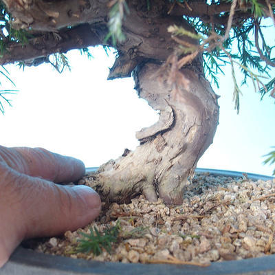 Outdoor bonsai - Juniperus chinensis ITOIGAWA - Chinese Juniper - 5