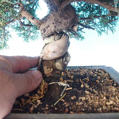 Outdoor bonsai - Juniperus chinensis ITOIGAWA - Chinese Juniper - 5
