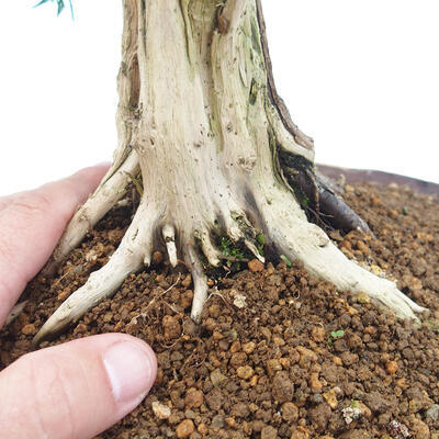 Outdoor bonsai - Juniperus chinensis - Chinese juniper - 5