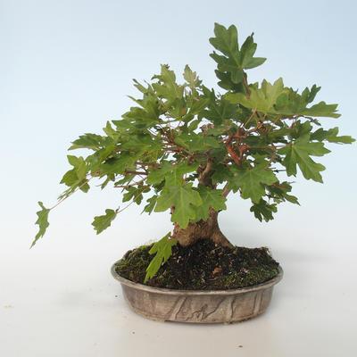 Outdoor bonsai-Acer campestre-Maple Babyb 408-VB2019-26807 - 5