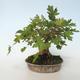 Outdoor bonsai-Acer campestre-Maple Babyb 408-VB2019-26807 - 5/5