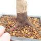 Outdoor bonsai - Maple palmatum DESHOJO - Japanese Maple - 5/6