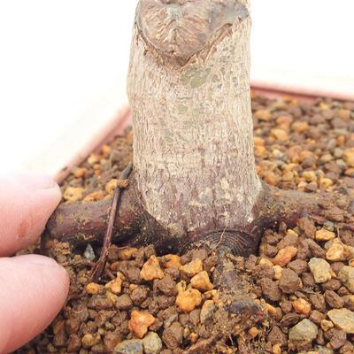 Outdoor bonsai - Maple palmatum DESHOJO - Japanese Maple - 5