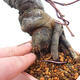 Outdoor bonsai - Pseudocydonia sinensis - Chinese quince - 5/7