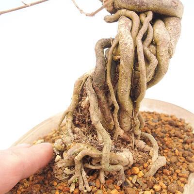 Outdoor bonsai - beautiful Callicarpa - 5