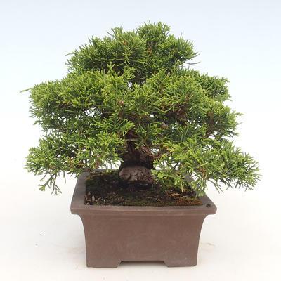 Outdoor bonsai - Juniperus chinensis Itoigawa-Chinese juniper - 5