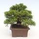 Outdoor bonsai - Juniperus chinensis Itoigawa-Chinese juniper - 5/6