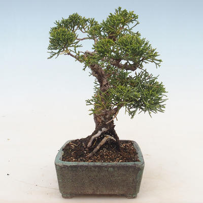 Outdoor bonsai - Juniperus chinensis - Chinese juniper - 5