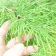 Outdoor bonsai - Pseudolarix amabilis - Pamodřín - grove of 5 trees - 5/5