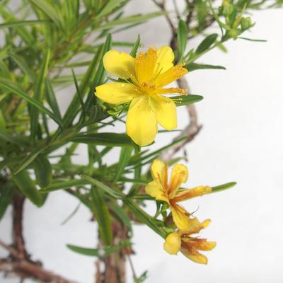 Outdoor bonsai- St. John's wort - Hypericum - 6