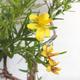 Outdoor bonsai- St. John's wort - Hypericum - 6/6