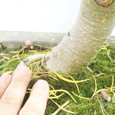 Outdoor bonsai - Pseudolarix amabilis - Pamodřín - 6
