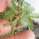 Indoor bonsai - Akacia Arabica - 6/7