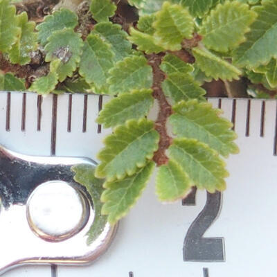 Outdoor bonsai - Ulmus parvifolia SAIGEN - Small-leaved elm - 6