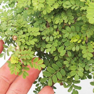 Indoor bonsai -Phyllanthus Niruri- Smuteň - 6