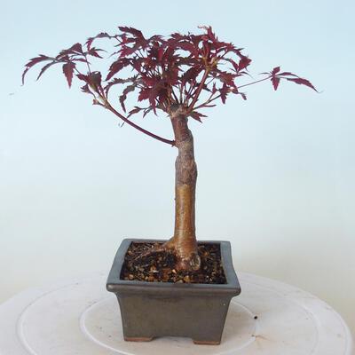 Outdoor bonsai - Acer palm. Atropurpureum-Red palm leaf - 6