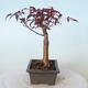 Outdoor bonsai - Acer palm. Atropurpureum-Red palm leaf - 6/6