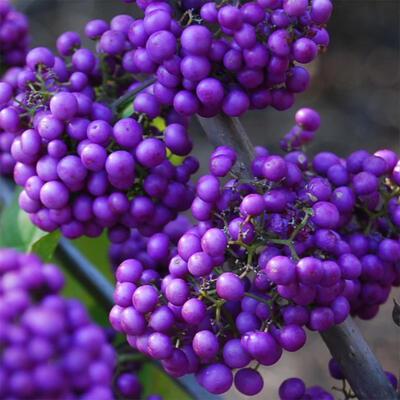 Outdoor bonsai - beautiful Callicarpa - 6