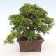 Outdoor bonsai - Juniperus chinensis Itoigawa-Chinese juniper - 6/6