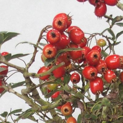 Outdoor bonsai - Hawthorn pink flowers - Crataegus laevigata paul´s Scarlet - 6