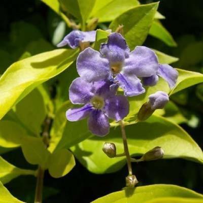 Indoor bonsai - Duranta erecta Variegata - 6