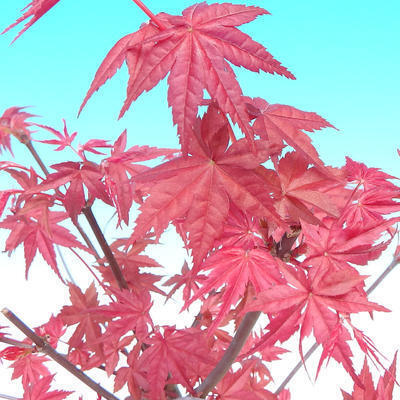 Outdoor bonsai - Maple palmatum DESHOJO - Japanese Maple - 6