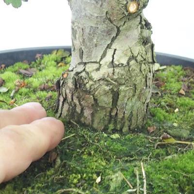 Outdoor bonsai - Hawthorn pink flowers - Crataegus laevigata paul´s Scarlet - 7