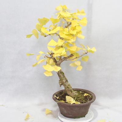 Outdoor bonsai - Ginkgo biloba - 7