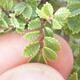 Outdoor bonsai - Ulmus parvifolia SAIGEN - Small-leaved elm - 6/6
