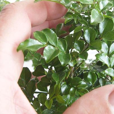 Indoor Bonsai - Fraxinus uhdeii - Indoor Ash - 7