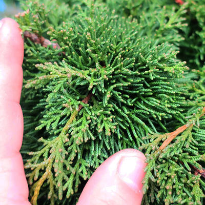 Yamadori Juniperus chinensis - juniper - 7
