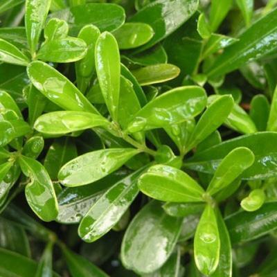 Indoor bonsai - Buxus harlandii - Cork boxwood - 7