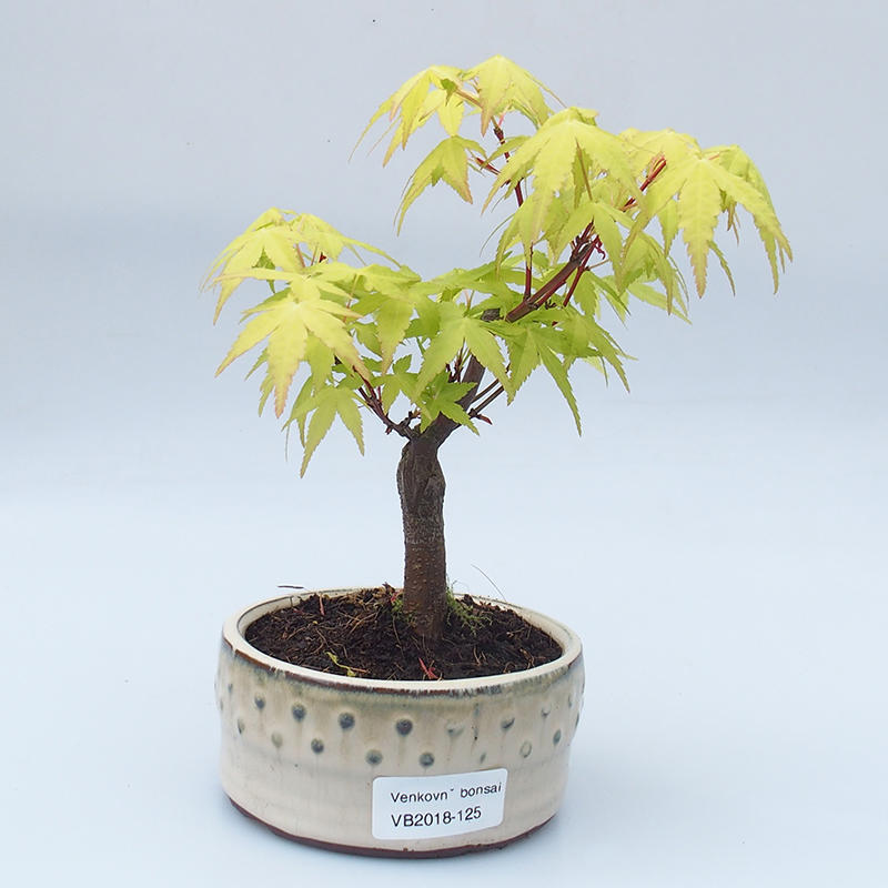 E Bonsai Outdoor Bonsai Acer Pal Sango Kaku Auburn Maple