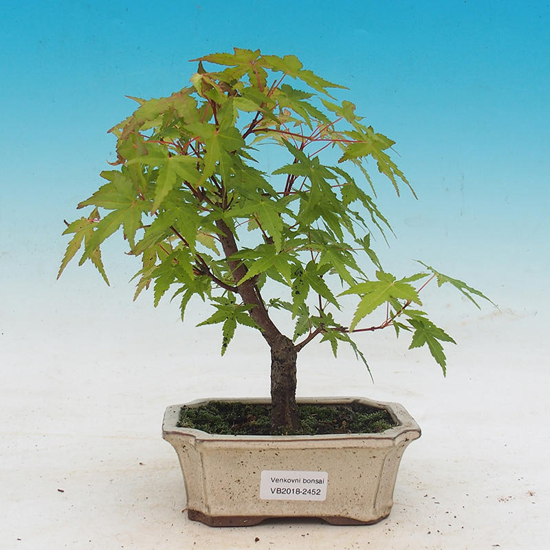 E Bonsai Outdoor Bonsai Acer Pal Sango Kaku Maple Dlanitolisty