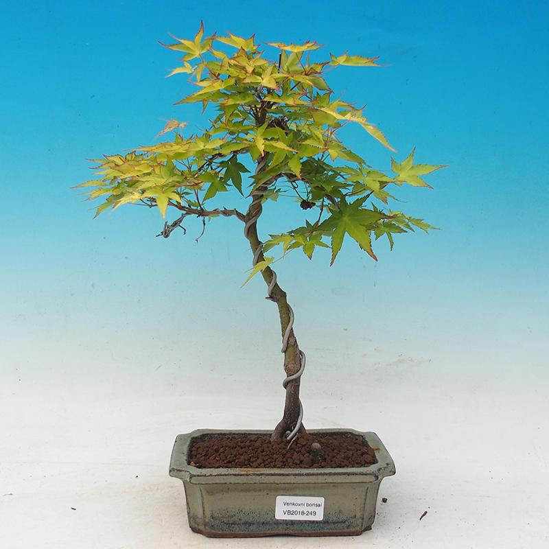 E Bonsai Acer Palmatum Aureum Maple Dlanitolistý Gold
