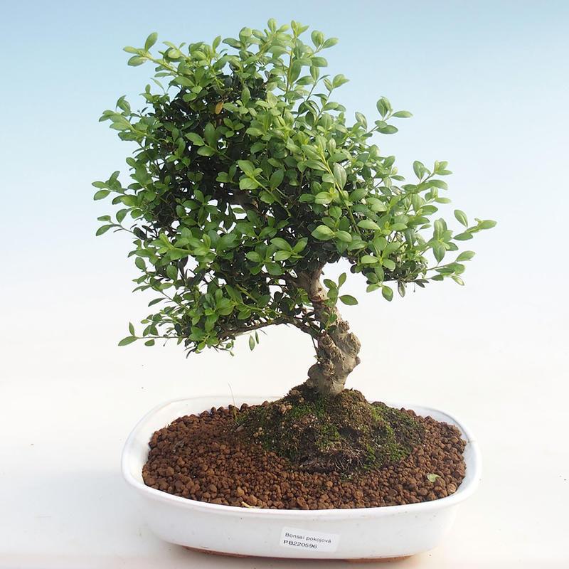 E Bonsai Indoor Bonsai Ilex Crenata Holly Pb220596