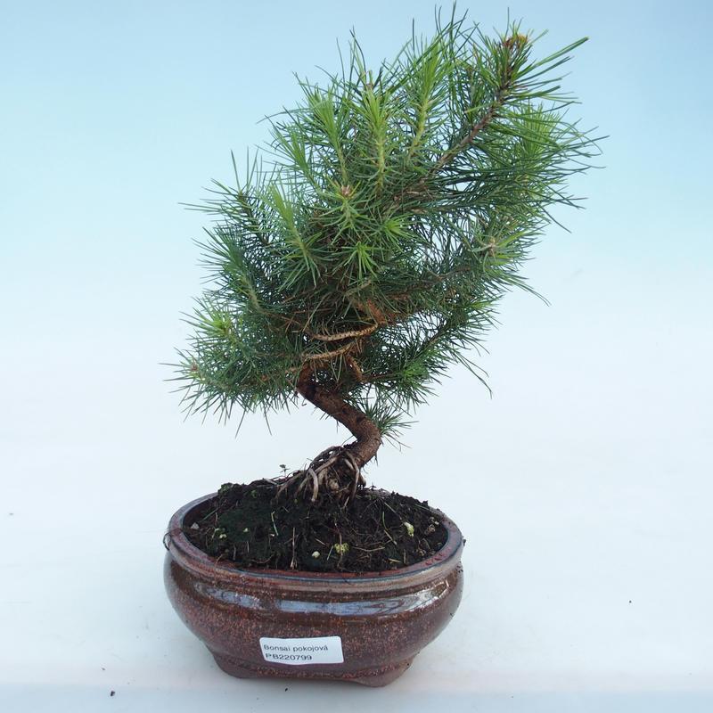 E Bonsai Indoor Bonsai Pinus Halepensis Aleppo Pine Pb220799
